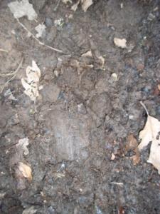 Badger Track?