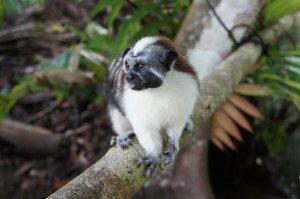 Geoffroy's Tamarin Monkey - Gamboa Lake