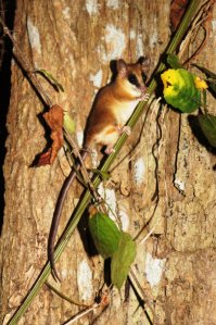 Oppossum - Isla Taboga Rainforest