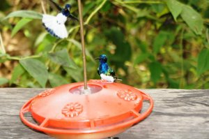 Hummingbirds - Rainforest Discovery Centre, Gamboa