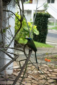 Blue Crowned Mot Mot - At a B & B near Gamboa Rainforest.