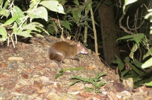 Agouti - Gamboa Rainforest