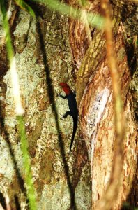 Red Headed Gecko - Parque Metropolitano