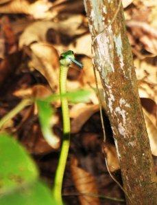 Green Parrot Snake - Parque Metropolitano