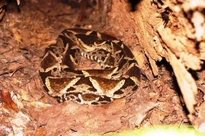Bothrops Asper (I spotted him in a hollowed out tree trunk) - Gamboa Rainforest