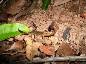 Scorpion - Isla Taboga Rainforest