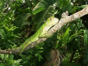 Iguana basking in the sun - Isla Taboga Rainforest