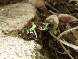 Green and Black Poison Dart Frog - Isla Taboga Rainforest