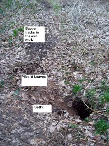 A badger sett?