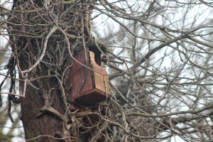 A nest box victim