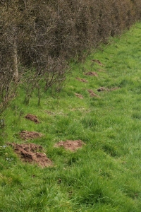 Freshly made mole hills