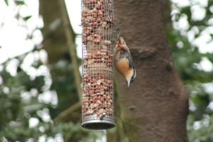 Nuthatch on feeder at Jacksons Coppice