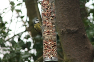 Blue tit on feeder at Jacksons Coppice