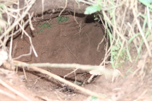 Badger sett entrance