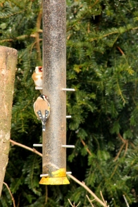 Goldfinches at the niger seed feeder