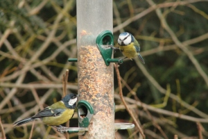 Great tit and Blue tit showdown.