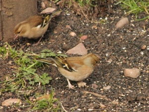 The chaffinch in the foreground has very swollen feet compared to the chaffinch in the background.