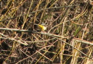 Unfortunately not the best photo, but definately a grey wagtail by the lake.