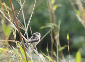 One of my favourite birds, the long tailed tit. He was sitting by the river. This is the first photo I have been able to get of a long tailed tit.