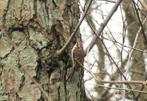 Treecreeper at Jacksons Marsh