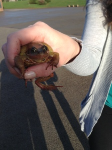 A common frog found at school.