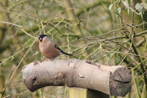 Female Bullfinch: Don't tweet with your mouth full!