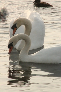 Last year this pair of mute swans raised a family on the lake. I will be keeping my eye out for new arrivals this year.