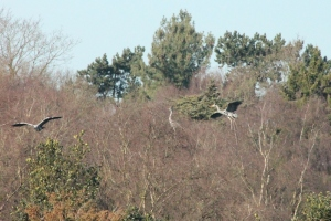 More herons at the heronry.