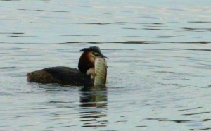 Grebe carrying the fish