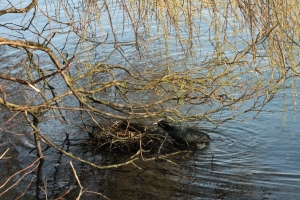 Coot Nest 1: Coot collecting twigs and sticks