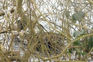 Coot Nest 4