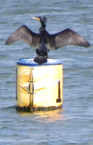 Cormorant drying his wings.