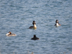 There were at least four pairs of grebes on the lake.