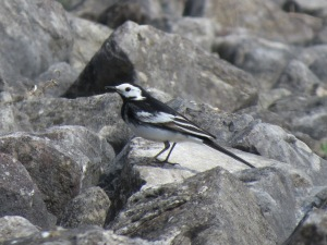 Pied Wagtail by the lake.