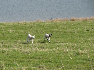 A pair of very happy spring lambs