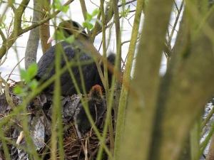 Chicks climbing onto the nest.