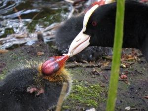 Parent feeding a chick