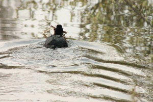 A busy coot carrying nesting material...