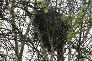 A squirrel nest (drey).