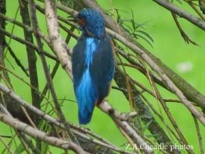 kingfisher 15