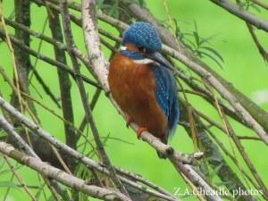 kingfisher 16