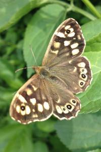 butterfly richard