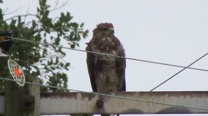 A buzzard