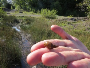 The pond snail and pond where we found plenty of these.