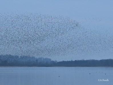 aqua starlings 2