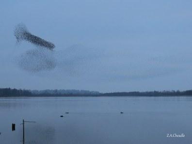 aqua starlings 3