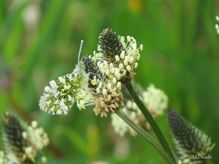 orange tip butterfly 2