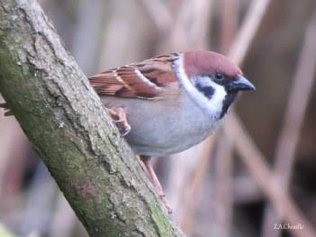 The Tree Sparrow