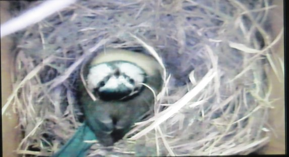 Blue tit in the nest
