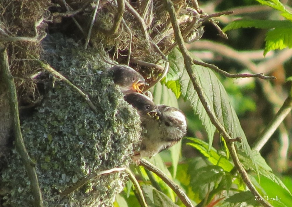 long tailed tits 2